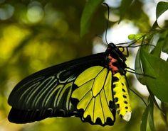 Indonesian Goliath Birdwing Butterfly