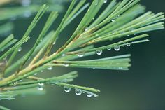 It may seem like a daunting task, but extracting pine tree essential oil is actually a pretty simple process. Even better, when you make your own essential oils, you not only...