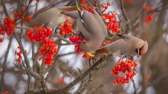 Bohemian waxwings eating rowan berries, Whitefish, Montana