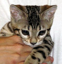 bengal kittens | Bengal Kitten from Foothill Felines - this is our Teacup as a young ...