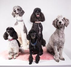 Studio work with different poodles Poodles, Dog Lovers, Passion, Studio, Pets, Photography, Animals, Photograph, Animales