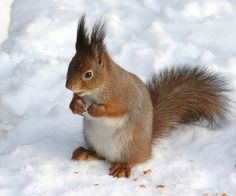Sciurus vulgaris in snow - Helsinki, Finland - Red squirrel - Wikipedia
