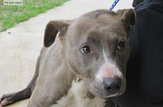 Blake is an adoptable Pit Bull Terrier searching for a forever family near Rocky Mount, NC. Use Petfinder to find adoptable pets in your area.