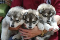Northern Inuit Puppies.