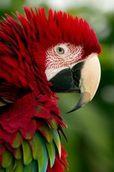Beautiful Parrot Bird Greenwinged Macaw Standing Stock Photo ...