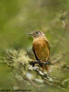mis fotos de aves: Viudita común [Knipolegus aterrimus] White-winged ...
