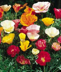 All kinds of poppies! There's even a beautiful sky blue variety!   A great website for information and purchase of seeds.