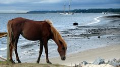 Wild horse on Cumberland Island, Georgia