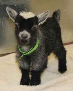 Pygmy Goat.
