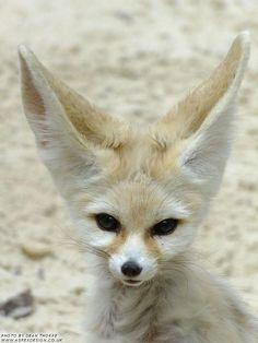 Fennec fox fennec fox foxes and animal - Pagina da colorare fennec fox ...
