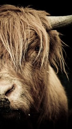 Beautiful Highland Cattle. Frame it. Mount it. Love it.