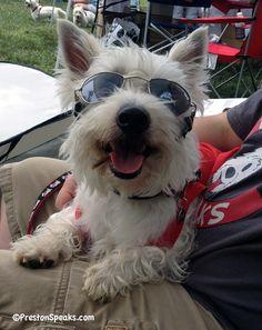 Do you like my shades?    www.PrestonSpeaks.com #dogs #westie
