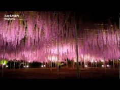 Wow!!!!!!!!!!!![HD]The most beautiful wisteria in the world 世界­でもっとも美しいフジ
