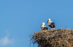 A storks nest by Edvard - Badri Storman on Especie Animal, Storks, Bald Eagle, Nest, Two By Two, Creatures, Birds, Ark, Nest Box