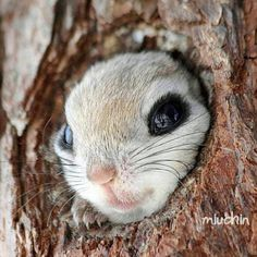 Siberian flying squirrel (Pteromys volans) by Miuchin.