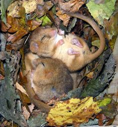 A pair of tiny dormice enjoy a nap in our spotting of the day. Dormice spend up to three quarters of their life asleep!