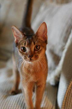 Mogwai, our abyssinian kitten cute cat