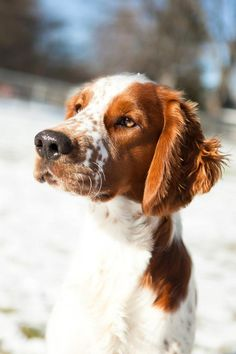 Grover, a Welsh Springer Spaniel