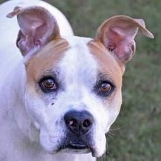 ENGLEWOOD FL - ROSE is an AMERICAN PIT BULL TERRIER MIX who needs a loving home.