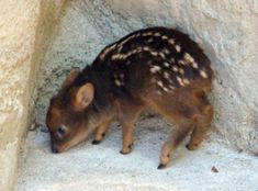 The Pudu: World's smallest deer. They live in bamboo thickets to hide from predators, and can weigh up to 12 kilograms (26 pounds). i'm going to die from cuteness.