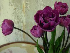 tulips%2C+magenta+double+4.jpg (700×525)