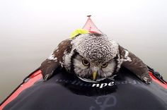 Tired hoot: The northern hawk owl took a much needed break