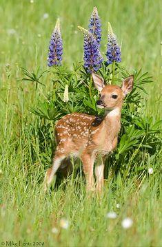 ☀Aww.. Bambi ~ Fawn near Lupine by Mike Lentz :)