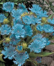 Blue Danube Stokesia - Unusual, lacy, sky-blue flowers on stems. Lovely for beds or borders. Long lasting as cut flower. Blue Garden, Shade Garden, Garden Plants, Unusual Flowers, Shade Perennials, Flower Stands, Cactus Y Suculentas, Trees To Plant, Planting Flowers