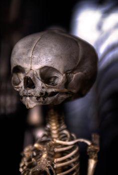 Foetal skeleton - Comparative Anatomy Museum Paris.