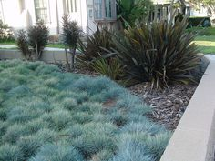 Blue Fescue and Flax. Blue Fescue forms an attractive blue foliage mound.  It is drought tolerant and suitable for xeriscaping.  Looks best in mass plantings. If you have deer problems you might want to avoid planting as they seem to like them.