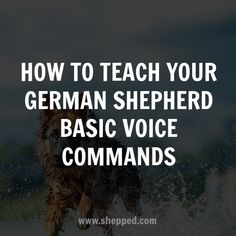How to teach your German Shepherd basic voice commands - #gsd #germanshepherd #dogtraining #shepped