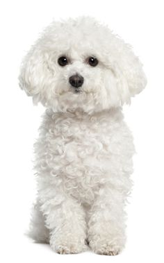 Bichon Frises are playful little dogs! #bichonfrises #dog