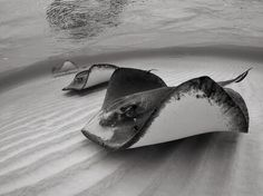 Stingray Picture -- Underwater Wallpaper -- National Geographic Photo...