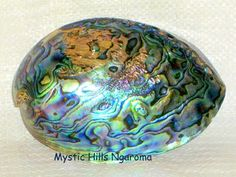 New Zealand Paua / Abalone whole Shell for Art work ,Jewelry, Pottery and Sculpture