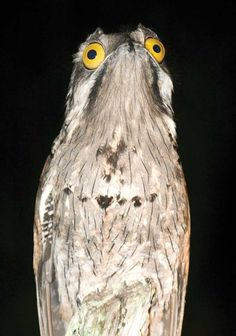 The Potoo bird always looks like it saw something horrifying!