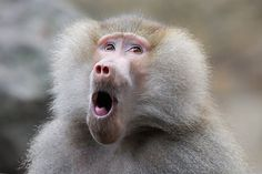 Baboon Word Skills Cause Linguistics Rethink | Geeks are Sexy ...