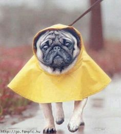 In my experience this is not how it worked. Once in raincoat, pug must then sit in every puddle they find to prove a point.