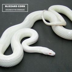 Blizzard Cornsnakes