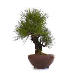 Bonsai Pinus Thunbergii Corticosa Pin Noir du Japon 40 cm, en vente chez Sankaly Bonsaï, Boutique en Ligne, Vente de Bonsaï et Accessoires. Acheter en Ligne www.sankaly-bonsai.com #shohin #bonsai #sankaly #sankalybonsai #sankaly-bonsai #pinus #thunbergii