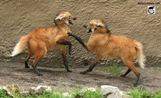 Unique Animals, Nature Animals, Animals And Pets, Cute Animals, Beautiful Creatures, Animals Beautiful, Maned Wolf, Wolf Paw, African Wild Dog