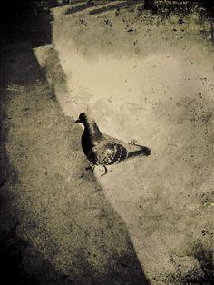 pigeon jack barnosky
