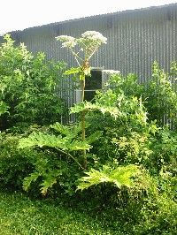 Giant hogweed (Heracleum mantegazzianum) is widespread in NY, but very limited in its distribution in the Adirondack region. Invasive Plants, Herbs, Leaves, Landscape, Scenery, Herb, Landscape Paintings, Corner Landscaping, Spice