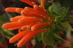 Orange flame vine (Pyrostegia venusta) Photo by Jeremy Bagge