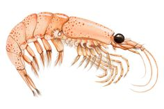 An poster sized print, approx mm) (other products available) - Krill (malacostracans), side view. - Image supplied by Fine Art Storehouse - poster sized print mm) made in the UK Fine Art Prints, Framed Prints, Canvas Prints, Carapace, Shell Animals, Colour Images, 500 Piece Puzzles, Side View, Photographic Prints