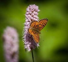 Butterfly by Jon Lindström / 500px