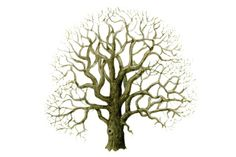 Use our illustrated guide to help you learn about identifying trees in winter. How To Identify Trees, Bare Tree, Tree Illustration, Forest School, Winter Trees, Trees To Plant, Shrubs, Wildlife, Flowers