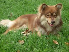 Beautiful Ocho <3 Reindeer, Doggies, Dog Breeds, Husky, Corgi, Homes, Future, Pets, Animals