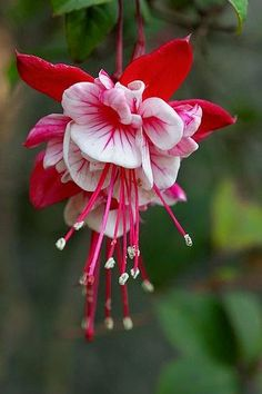 Fuchsia - double headed and gorgeous