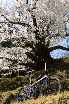 Copyright © そう 様 / 2014年式 speed falco / 半ば衝動買いに近い形で購入しましたが、今では休みのたびに車に積んで色々なところへ行っています。購入前に思っていた以上によく走り、折りたたみ自転車に対するイメージが大きく変わりました。写真は奈良県下最大最古と言われる仏隆寺の千年桜行った時の写真です。