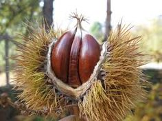 sweet chestnuts - many spines, roll on floor with you foot to reveal the shiny chestnut, the roast! Sweet Chestnut, Seed Pods, Free Food, Seeds, Fruit, Image Search, Roast, Floor, Fall